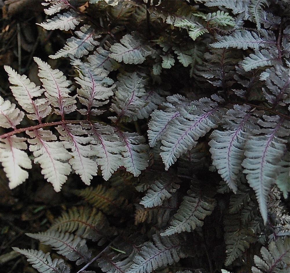 Ornamental fern
