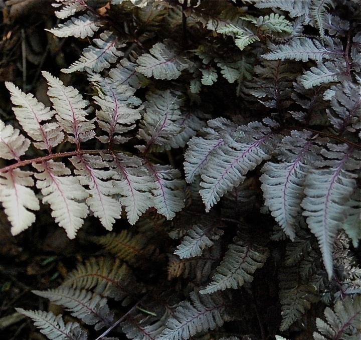 Ornamental fern