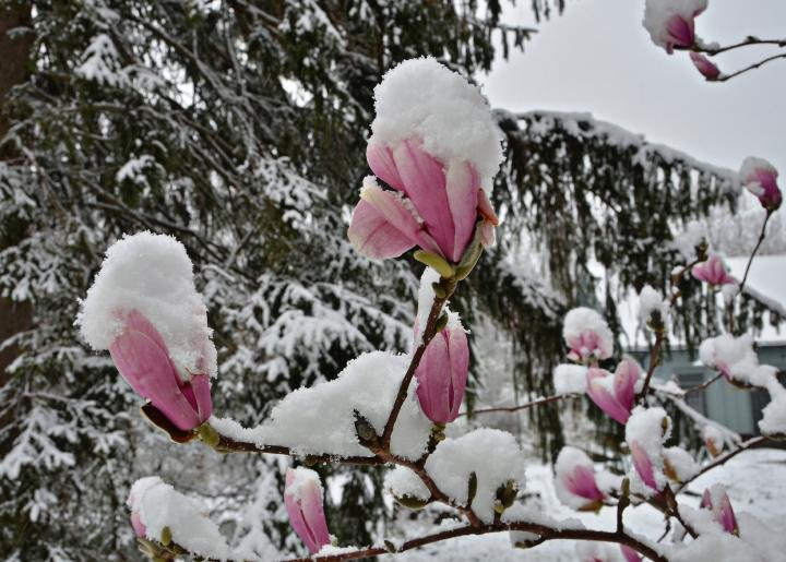 Magnolia Snow Cones DSC_0367