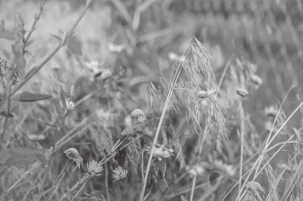 Some drying flowers along the fence of Fairview Cemetery.